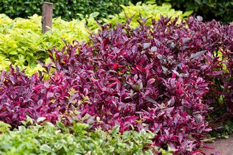 colorful bushes and shrubs colorful shrubs stock photo colourbox