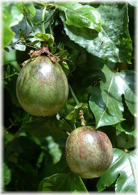 maracuja passionsfrucht passiflora edulis guenstig