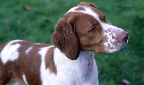 Do Spaniels Shed by Breed Information