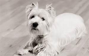 West Highland White Terrier - Wallpaper #38233