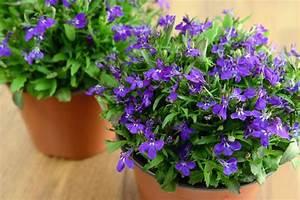 Kübelpflanzen Winterhart Bilder : ist m nnertreu winterhart so berwintern sie es ~ Markanthonyermac.com Haus und Dekorationen