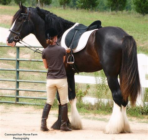 horses draft horse ride need shire mounting dressage riding pretty block pferde cosmopolitan mount dogs boy flickriver want caballos pony