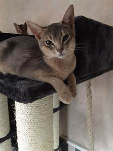 Lovely blue Abyssinian kitten for sale! | Oldham, Greater ...