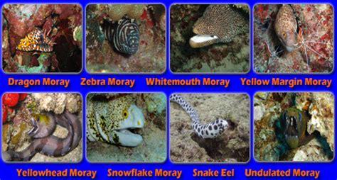 eels  hawaii scuba diving  moray eels  oahu