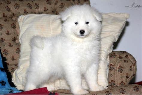 Samoyed Puppy For Sale Near Lancaster Pennsylvania