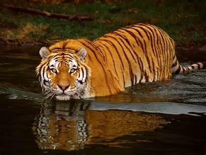 Desktop Tiger Wallpapers Sponsored