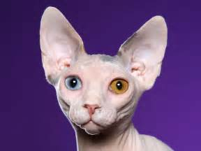 bald cats sphynx cat wallpapers animals wiki pictures