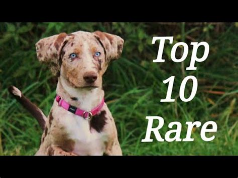 Top 10 world's Most Rare Dog breeds Ever Amazingly