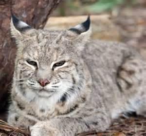 big cat rescue ta bobcat facts photos sounds news and