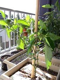 legumes en pot sur balcon r 233 alisez un potager 100 naturel