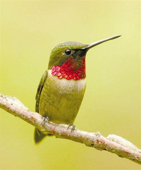 ruby throated hummingbird close sitting hummingbird