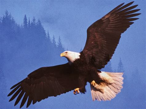 Most Beautiful Wallpapers Of Animals - eagle most beautiful images top hd animals wallpapers
