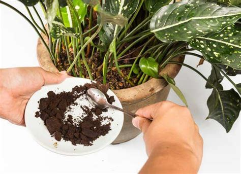 Houseplants like philodendrons, jade plants, christmas cacti, cyclamen, and african violets grow best with the use of coffee what are the plants that like coffee grounds and eggshells? Pin on plants