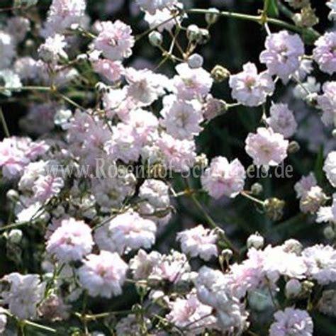 gypsophila hybride rosenschleier schleierkraut rosen