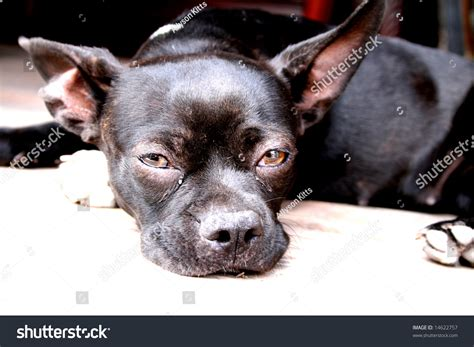Pitbull Chihuahua Mix Pug Stock Photo 14622757