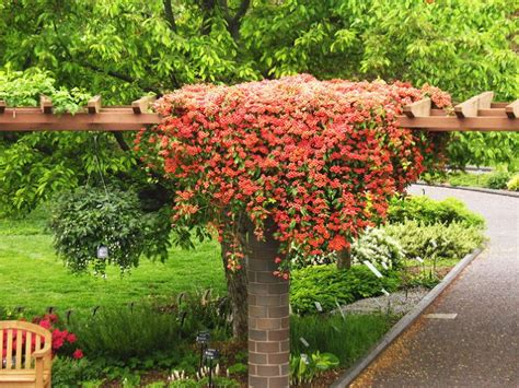 17 Best Images About North Texas Plants Perennial Vines