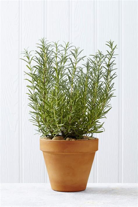 interior decorating kitchen growing rosemary plants indoors