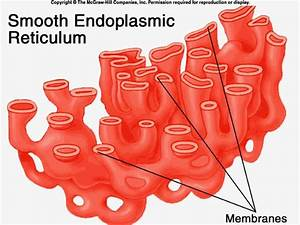 Smooth Endoplasmic Reticulum    Some Of Its Functions