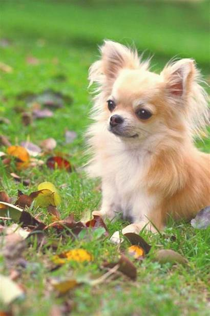Chihuahua Haired Teacup Puppies Dog Deer Mywebtrend