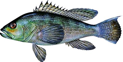 sea bass fish deep how much does your fish weigh