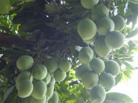 gambar pohon mangga akar batang daun bunga