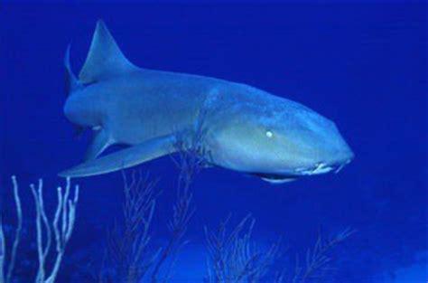 Requin Dormeur by Le Requin Dormeur Proteger Les Requins