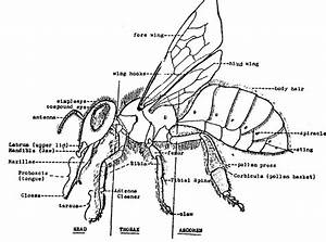 Honey Bee Anatomy - Honey Bees