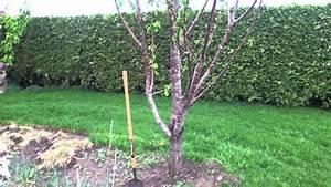 Planter Un Cerisier : cultiver des cerises prendre soin de son cerisier youtube ~ Melissatoandfro.com Idées de Décoration