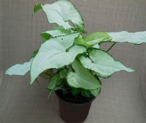 exotic allusion syngonium podophyllum