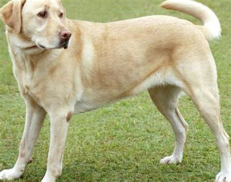 Low Shed Dogs Medium In Size by Labrador Retriever Animals A Z Animals Animal Facts