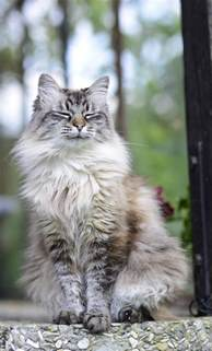 siberian cats for siberian cat breed information pictures characteristics