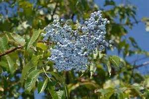 Blue Elderberry Plant
