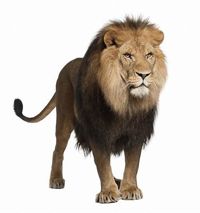 Lion Walking Transparent Purepng