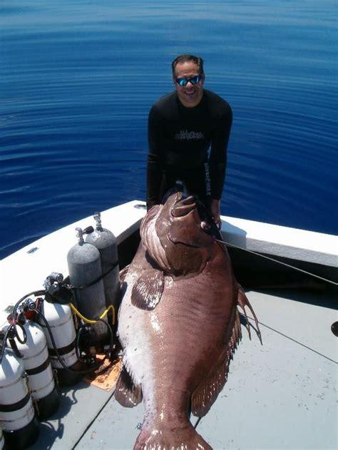 fish grouper warsaw record florida fishing marinni extravaganza megabbs caught depths lb ft 2008 carp issue king ugly source head