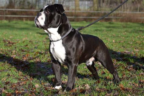 continental bulldog bully dog bulldog bully breeds