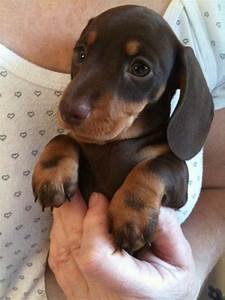 MINIATURE SMOOTH HAIRED DACHSHUND PUPPY | Maidstone, Kent ...