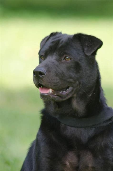 Do Shar Pei Lab Mix Shed by Wonton The Sharpei Lab Mix S Web Page