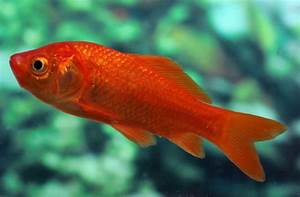 Frequently Asked Questions On Goldfish  U2014 Practical Fishkeeping Magazine