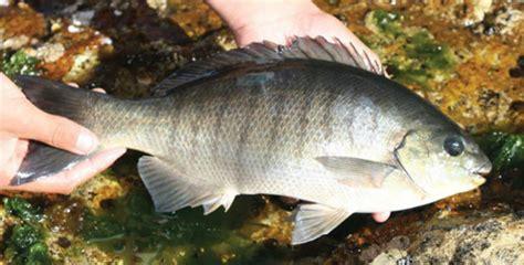 fish facts luderick fishing world