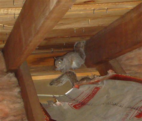 Types Roof Damage Rodents