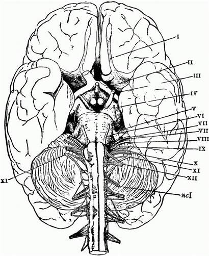 Brain Anatomy Coloring Pages Physiology Printable Human