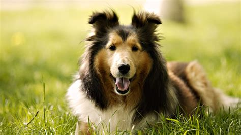Lovely Collie Dog High Definition Wallpaper Download