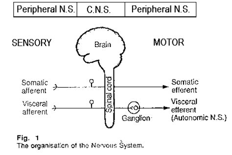 The central nervous system includes the spinal cord and the brain. Nervous system notes