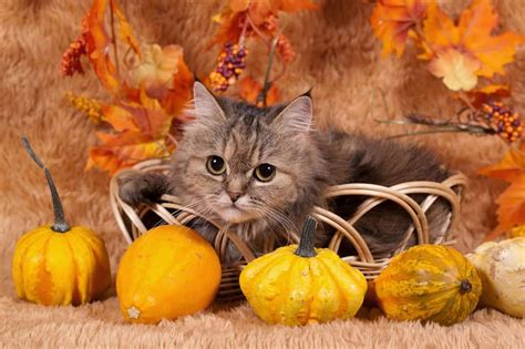 Wallpaper Cat And Pumpkin by Can Cats Eat Pumpkin Is It Harmful To Them September 22