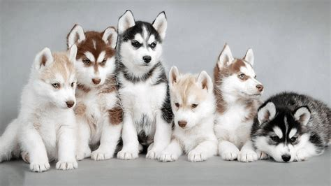 husky coat colors siberian husky colors husky rescue south africa