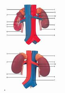 3b Scientific Kidneys With Rear Organs Of The Upper