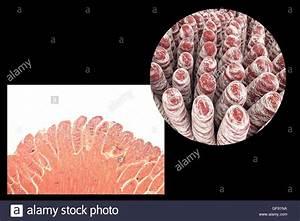 Villus Small Intestine Stock Photos  U0026 Villus Small Intestine Stock Images
