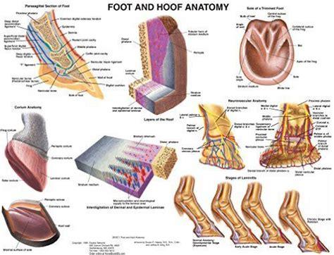 foot  hoof equine anatomy wall chart horses horse