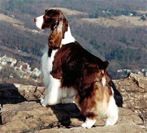Field Springer Spaniel Shedding by Springer Spaniel Breed Profile