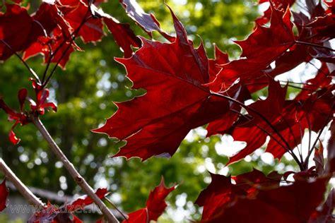 Japānas kļava - Kļavas (Acer) - redzet.eu